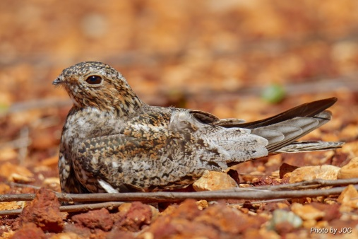 Puerto Rican Nightjar 1 by Johnny Otero